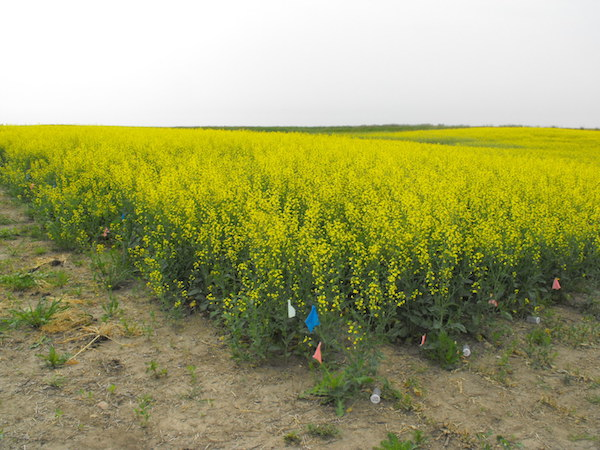 WTCM13 1 Canola plots in sulfur fertilizer trial at Brown soil zone site JS