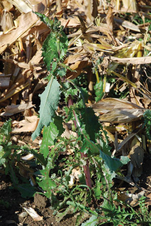 ETCM-11-17--prickly-lettuce-1