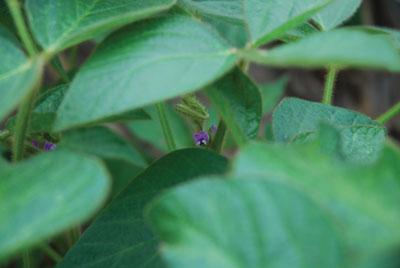 ETCM-16-7-soybeans