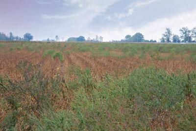 ETCM-32-4-weedy-soybeans3