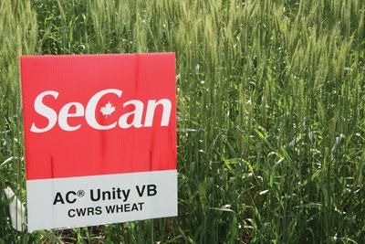 WTCM-10-12--Unity-wheat
