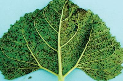 WTCM-10-13--rust-leaf