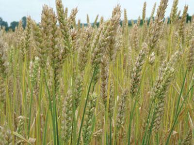 WTCM-10-14--wheat