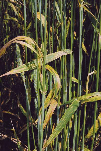WTCM-10-29--2010-barley-disease