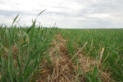 WTCM-28-13--CMC-vs--Untreated---Wheat---July-4-2009