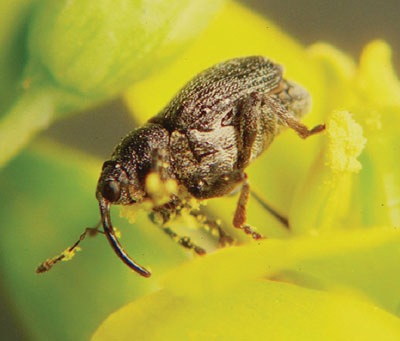 WTCM-28-3-Dosdall-Cabbage-Seedpod-Weevil