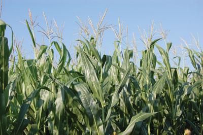 WTCM-6-2--corn-field