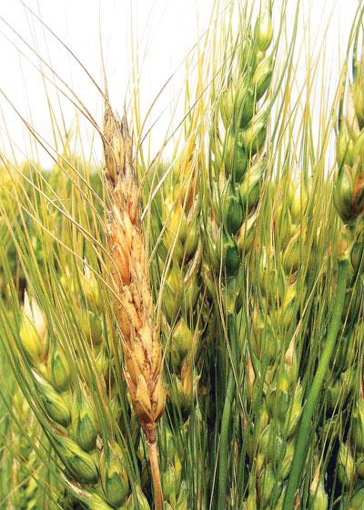 WTCM10.18-wheat-IMG_0305AC
