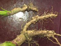 clubroot4