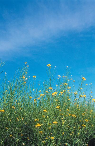 mustard-usda