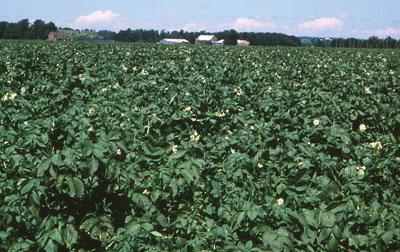 p6_potato