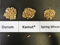 pg14_WTCM17.1-Kamut-Kernel-comparison2