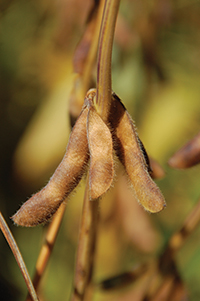 pg50_WTCM26-1-soybean-pods-DL
