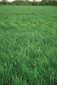 winterwheat