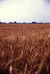 winterwheat1