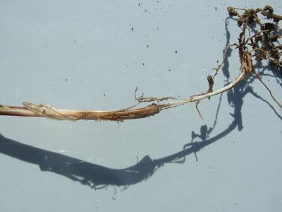 wtcm-16-16--typical-wire-worm-feeding-on-stem