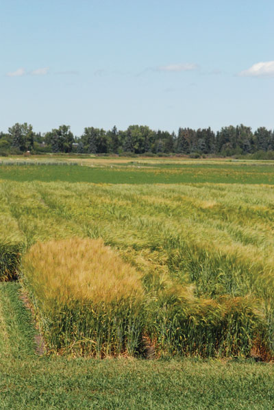 wtcm-6-3--barley-plots