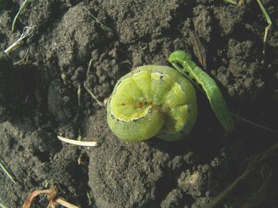 wtcm10_6-berthaarmyworm
