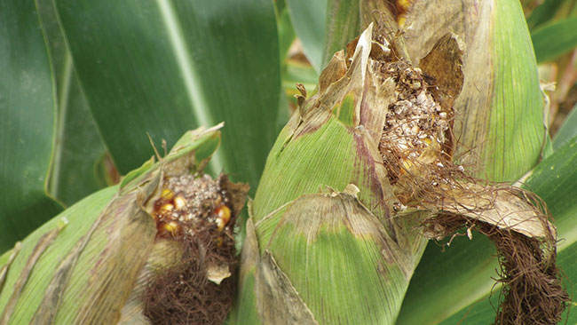 Mycotoxins in corn linked to western bean cutworm