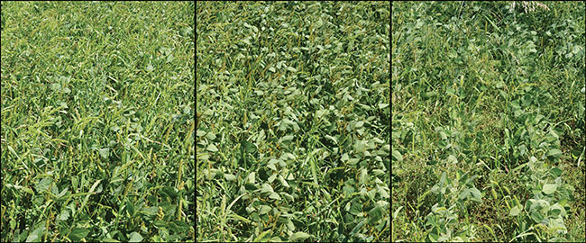 More competitive soybeans = less spraying