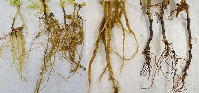 Evaluating root rot in pulses