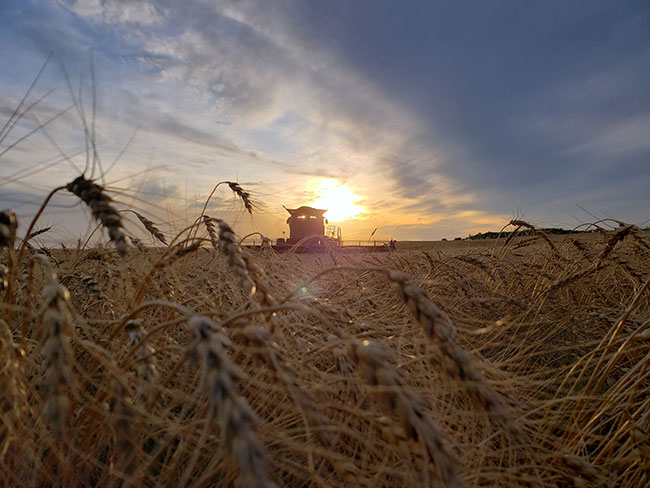 Advancing cold hardiness of winter wheat and rye